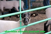 4H Sheep and Goat Show 2017