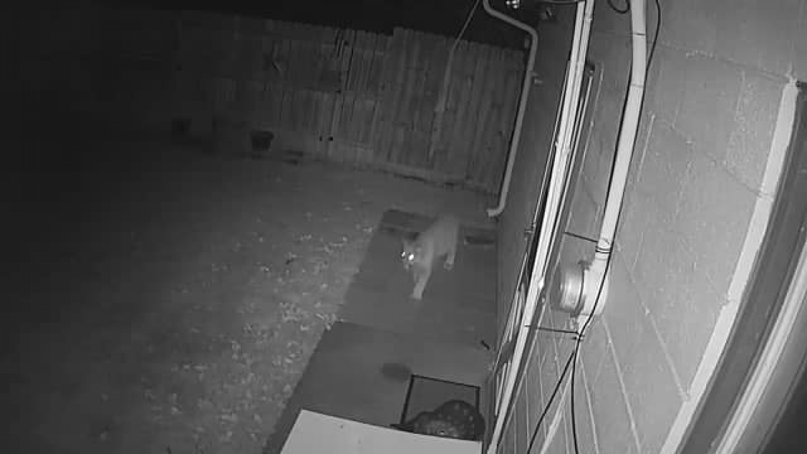 A home security camera belonging to a Gordon resident captured footage of a mountain lion in their backyard early Sunday and Monday mornings. On Monday evening, the cat was trapped by another Gordon resident, and shot by authorities.