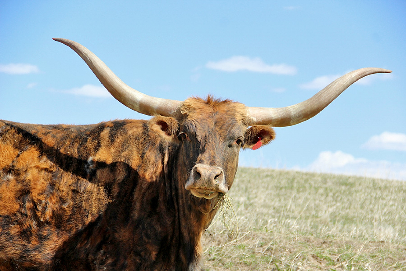 The majestic power of longhorns up close